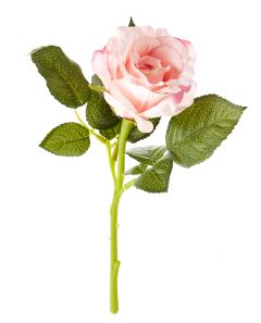 Rose, 30 cm, apricot