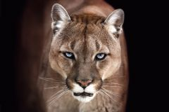 Poster Cougar, Nr. 192