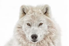 Poster Wolf head, Nr. 202